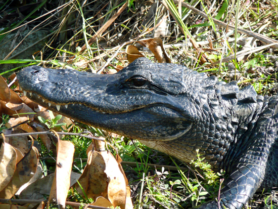 A gator along the Bobcat Boardwalk Trail. The trail winds through a 'bayhead', one of nine Everglades ecosystems<br> (GPS: N 25 45.345 W 80 45.988)