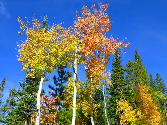 Aspen stands along the Burro Trail