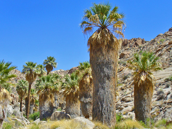 Hidden deep within Munsen Canyon is the Summit Springs Palm Grove