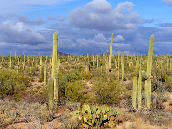 Diverse vegetation and saguaro forests on the Wild Dog Trail