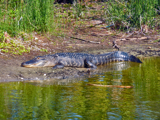 An American Alligator bakes in the sun at Wakodahatchee Preserve