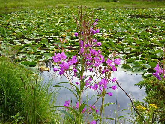 Protrails lexicon for Pond plants mesa az