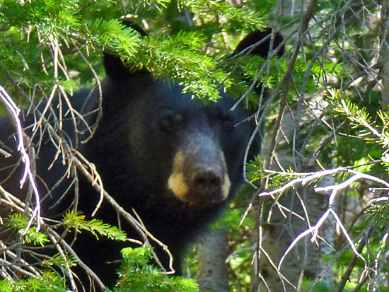 A black bear peeks through the trees near the Lake George shoreline